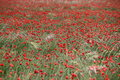 Red poppy field big outdoors Royalty Free Stock Photos
