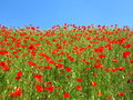 Red poppy field at blue sky Royalty Free Stock Photo