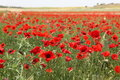 Red poppy field great outdoors Royalty Free Stock Images