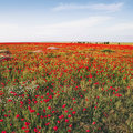 Red poppy field. Nature floral background