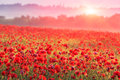 Red poppy field nice scene on in morning mist Royalty Free Stock Images