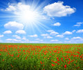 Red poppy field with sunny sky Stock Photography