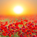 Red poppy field at the sunrise Stock Image
