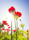 Red poppy field under summer sun Royalty Free Stock Photo