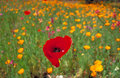 Red Poppy in a field of Yellow California Poppies Royalty Free Stock Photo