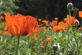 Red poppy flower Royalty Free Stock Photo