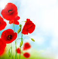 Stock Images Red Poppy Flower