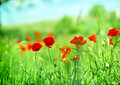 Red poppy flower beautiful in the meadow Stock Images