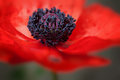 Red Poppy Flower In Bloom Larg...