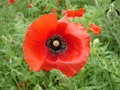 Red poppy flower and bud Royalty Free Stock Photo