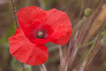 Red poppy flower close up Royalty Free Stock Photography