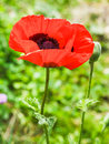 Red poppy flower close up on meadow in summer Royalty Free Stock Photo