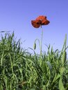 Red poppy flower with dew drops on petals close-up in green grass against blue sky Royalty Free Stock Photo