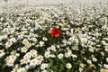 Red poppy flower in a field of white daisies Royalty Free Stock Photo