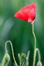 Red Poppy Flower On Green Natu...