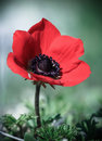 Red poppy flower growing in nature Royalty Free Stock Photo