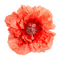 Red poppy flower isolated on white Stock Photos