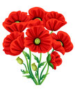 Red Poppy Flower isolated on white background. Vector red romantic poppy flowers and grass. red poppies. red flower. flourish flow Royalty Free Stock Photo