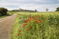 Red poppy flowers on a countryside road Royalty Free Stock Photo