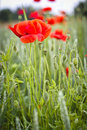 Red poppy flowers in field Stock Photography