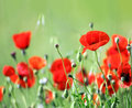 Red poppy flowers in field Stock Image