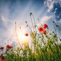 Red poppy flowers at the field with blue cloudy sky and sun Royalty Free Stock Photo