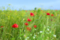 Red poppy flowers field Royalty Free Stock Photo
