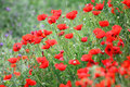 Red poppy flowers in field many Royalty Free Stock Photography