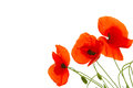 Red poppy flowers. Royalty Free Stock Photo