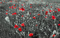 Red Poppy Flowers for Remembrance Day Royalty Free Stock Photo
