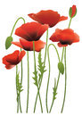 Red poppy flowers, vector illustration Royalty Free Stock Photos