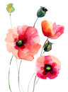 Red poppy flowers watercolor illustration Royalty Free Stock Photo