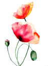 Red poppy flowers watercolor illustration Stock Image