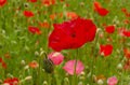 Red poppy with green field how background