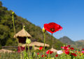 Red poppy on green field mountain background at chiang dao thailand Stock Image