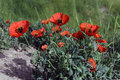 Red poppy and green grass on the field Royalty Free Stock Photo