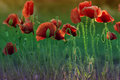 Red poppy on green weeds field. Poppy flowers. Royalty Free Stock Photo