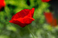 Red poppy on green weeds field. Poppy flowers.Close up poppy hea Royalty Free Stock Photo