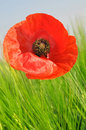 Red poppy growing in wheat field Stock Photography