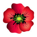Red poppy isolated Stock Photo