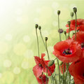 Red Poppy is isolated on a green background. Royalty Free Stock Photo