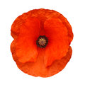 Red poppy isolated the head of a flower often associated with armed forces remembrance days against a white background Royalty Free Stock Images