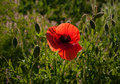 Red poppy in a meadow with dew, illuminated by the sun in the morning. Royalty Free Stock Photo