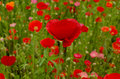 Red poppy with poppy field how background.