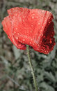 Red poppy and raindrops Royalty Free Stock Photo