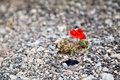 Red poppy sprouts up from the stones close middle of a stone path Royalty Free Stock Images