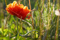 Red Poppy in the sun Royalty Free Stock Photo