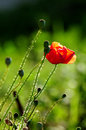 Red poppy sunlight over in a green field Royalty Free Stock Photos