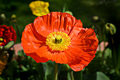 Red poppy warmed by the sun Royalty Free Stock Photo