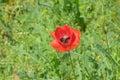 Red poppy in wild field Royalty Free Stock Photo